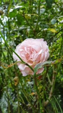 Flower Rose Highgate Cemetery