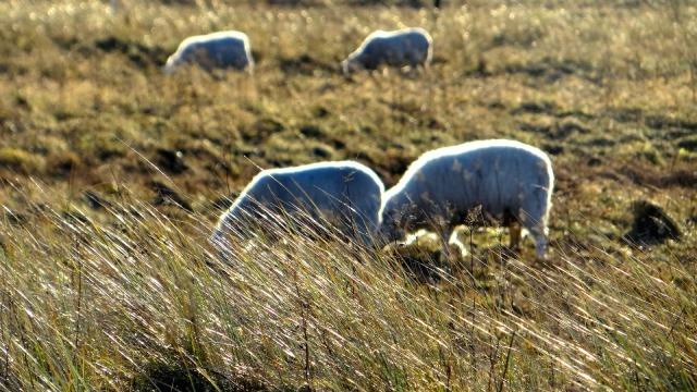 Scotland Aberlady Bay beach sheep